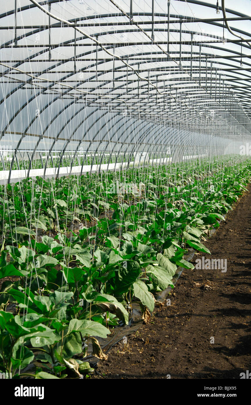Cultivation of eggplants in a greenhouse, vegetable-growing area of Grosses Moos, Seeland region, Switzerland, Europe - Stock Image