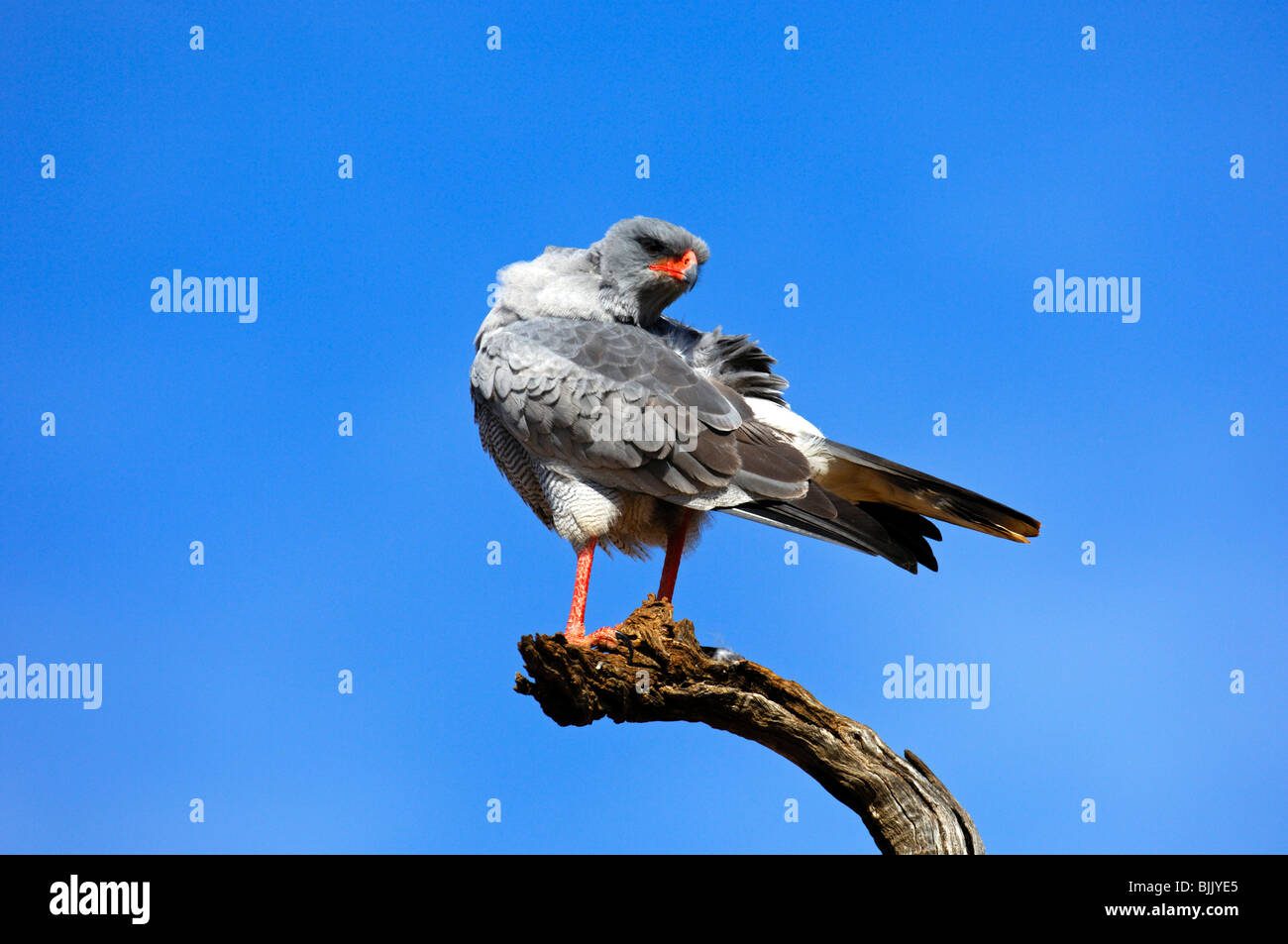 Pale Chanting Goshawk (Melierax canorus) perched on a lookout, Madikwe Game Reserve, South Africa, Africa - Stock Image