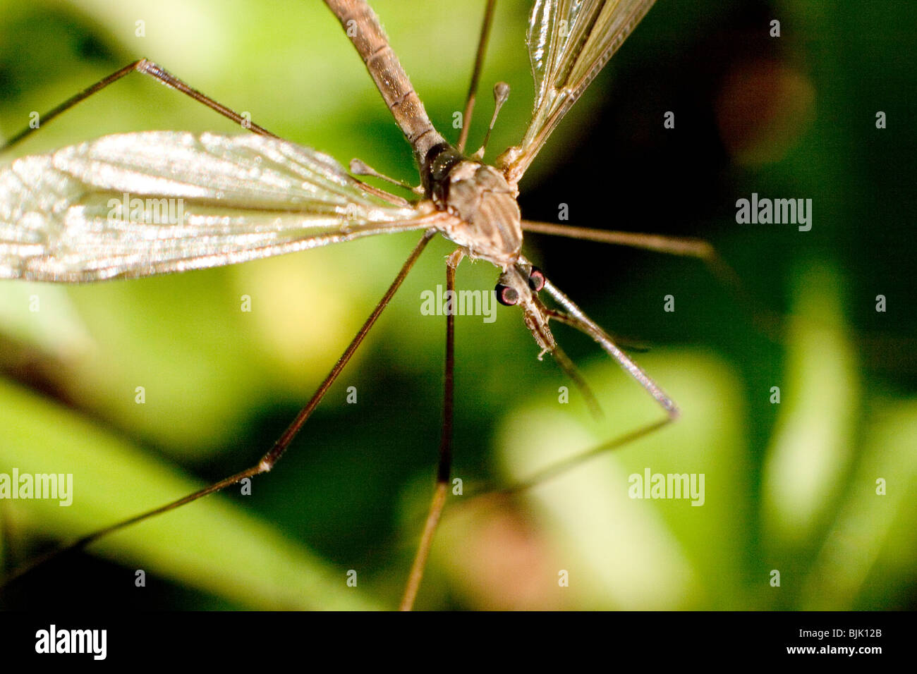 Gallinipper Insect Diptera Stock Photo