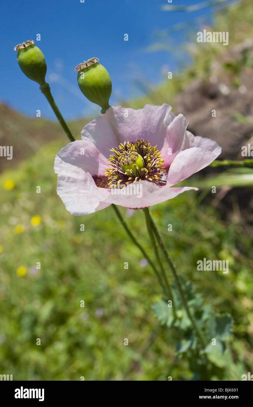how to grow opium poppy seeds