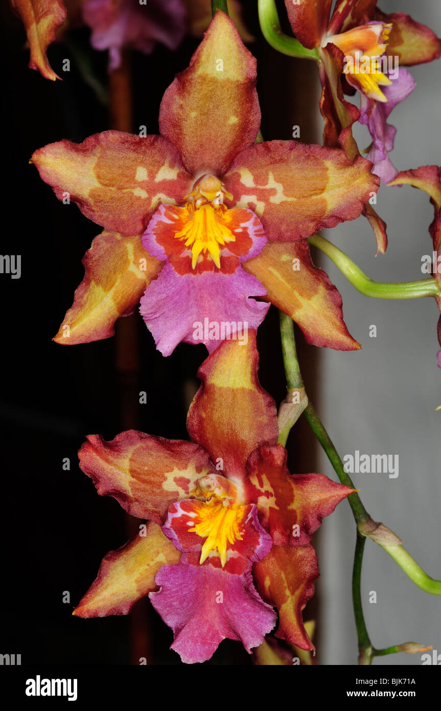 Beautiful multi-colored orchids - Stock Image