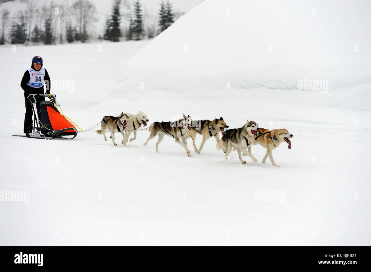 Siberian Husky, sled dog team with musher, Studen, Switzerland, Europe - Stock Image