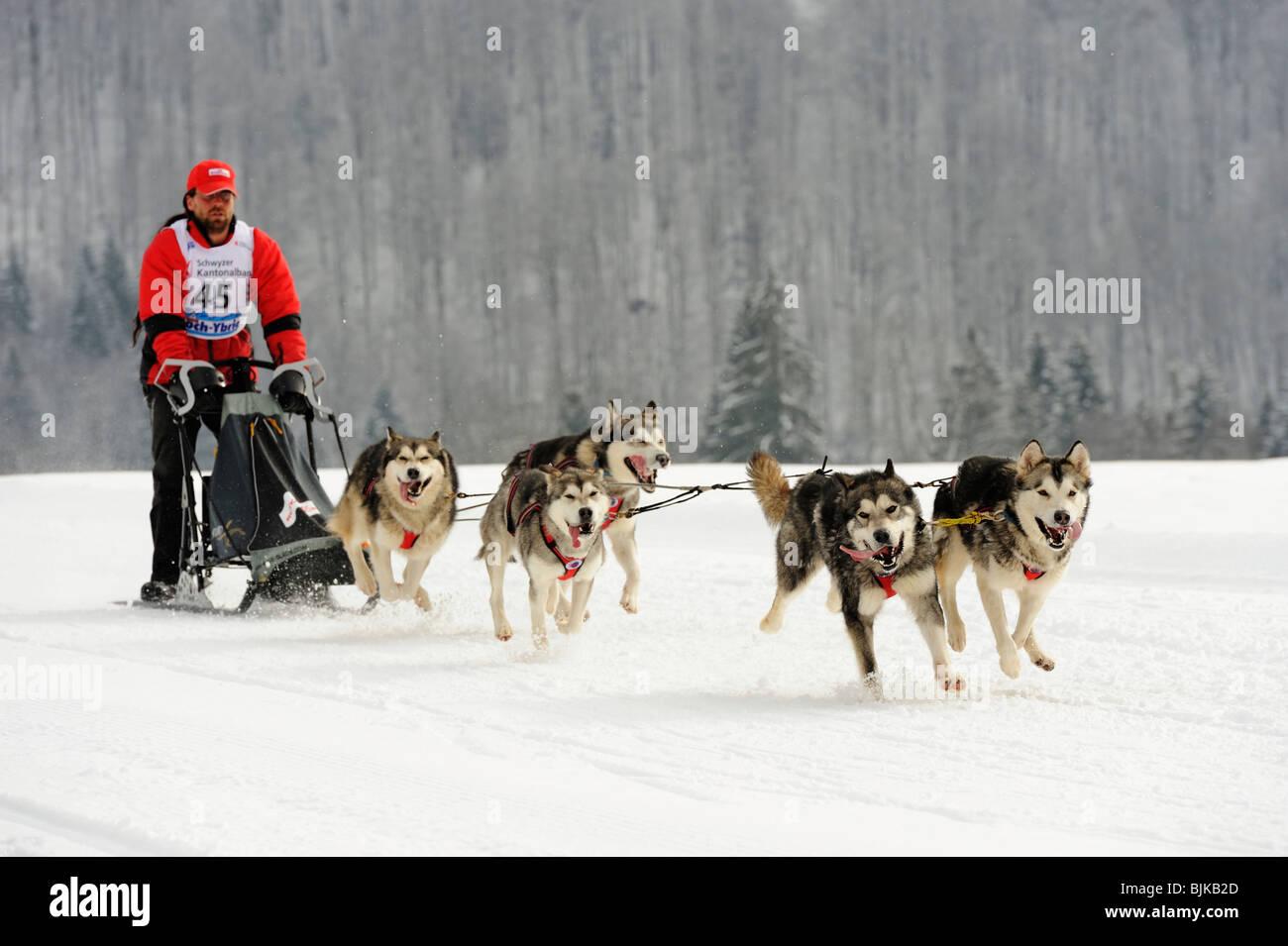 Alaskan Malamute, sled dog team with musher, Studen, Switzerland, Europe - Stock Image