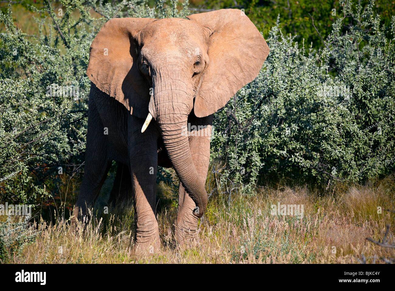 African Forest Elephant (Loxodonta cyclotis), Damaraland, Namibia, Africa Stock Photo