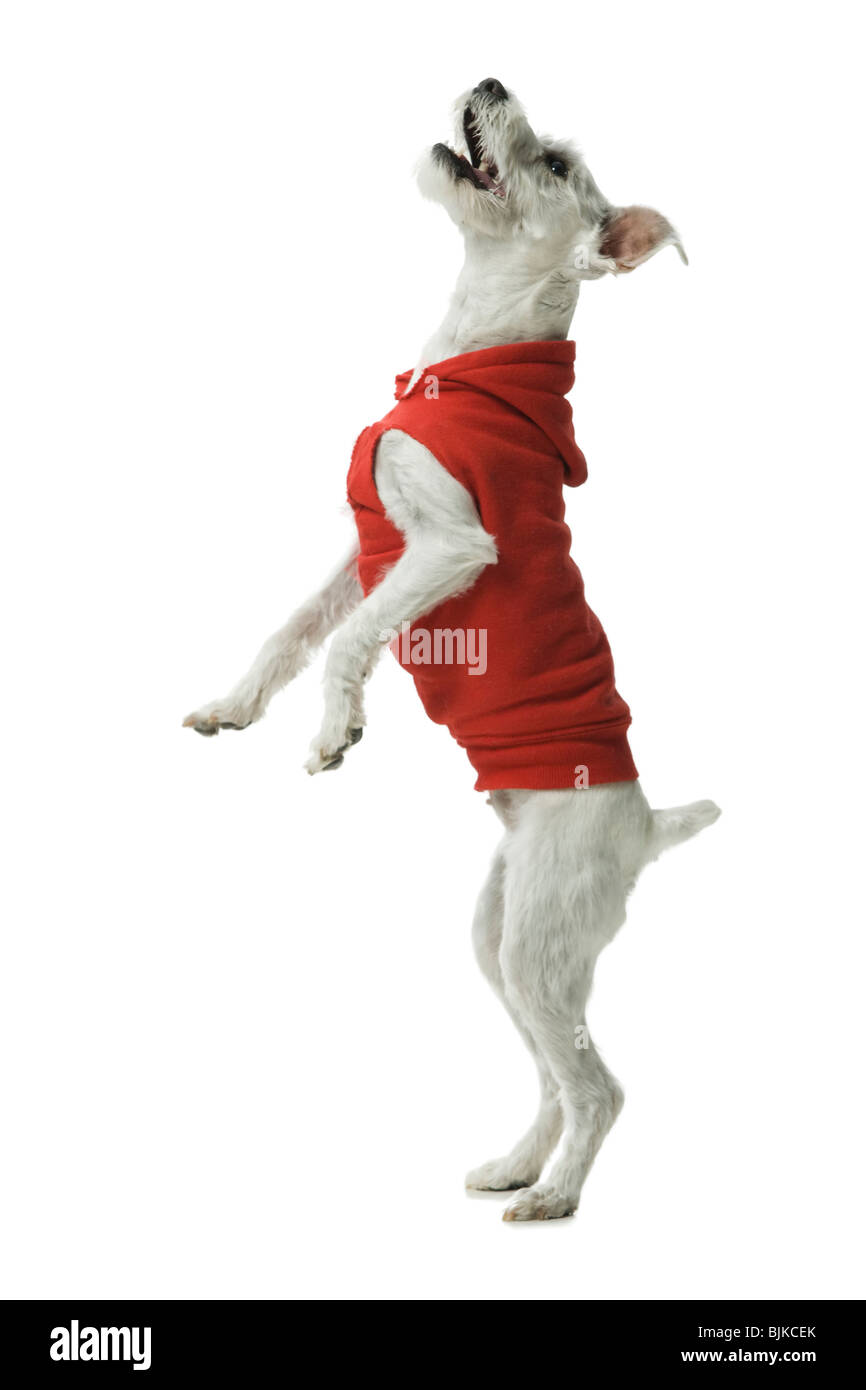 Casually Dressed woman training in hoodie dog to sit Stock Photo