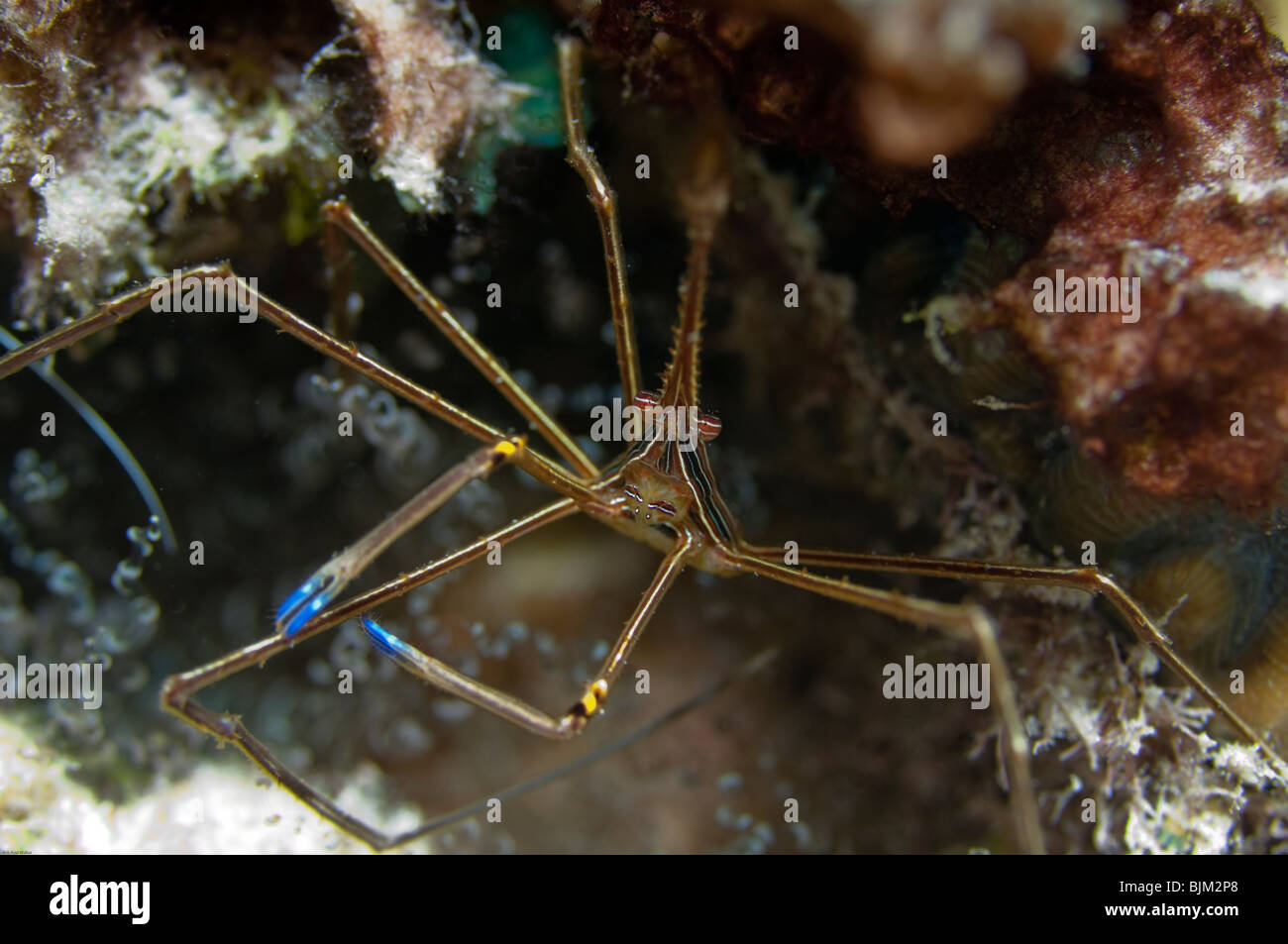 An Arrow Crab stands its' ground when confronted by the photographer. Stock Photo