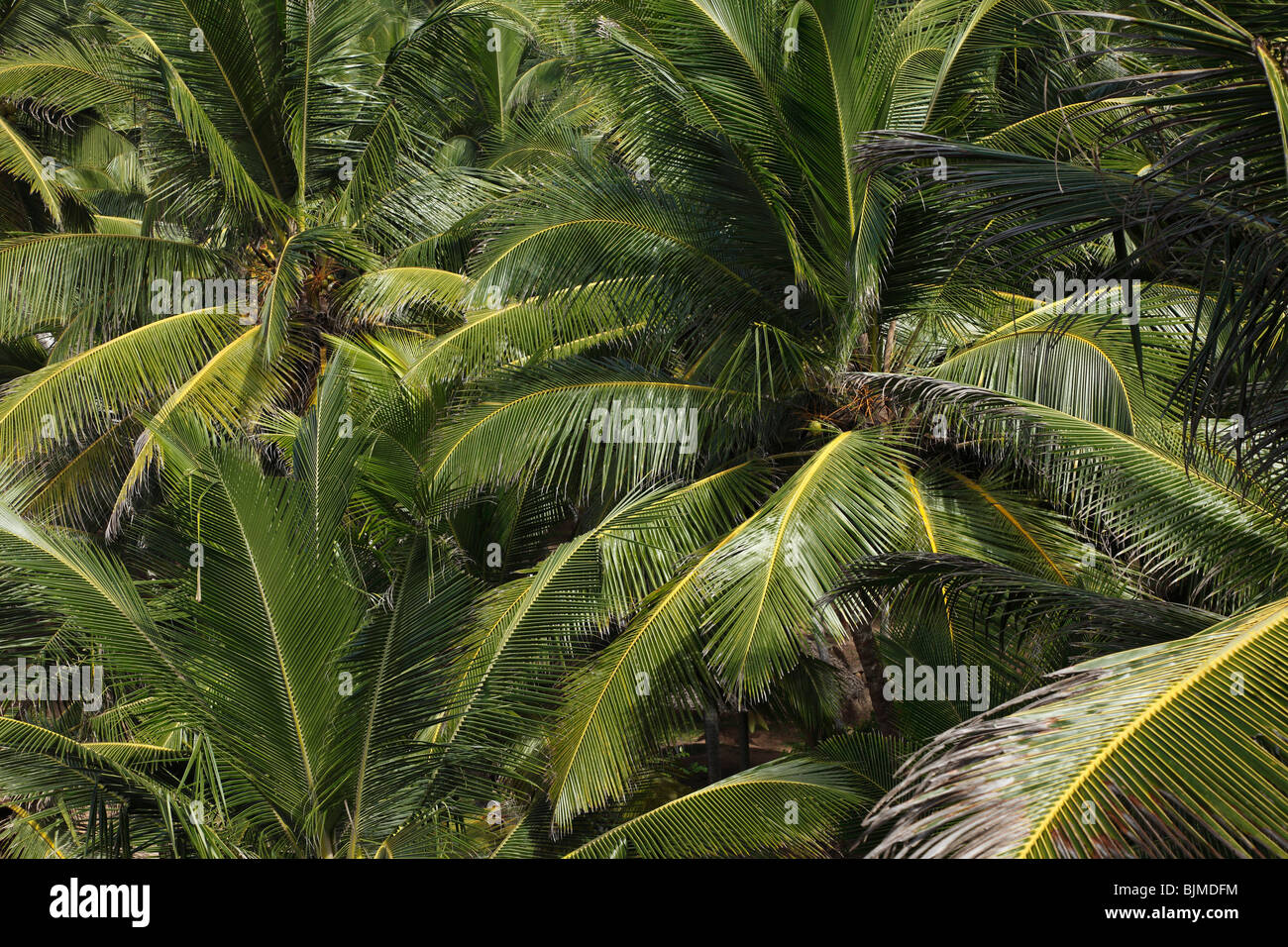 Coconut palms, Kerala, India, Asia - Stock Image