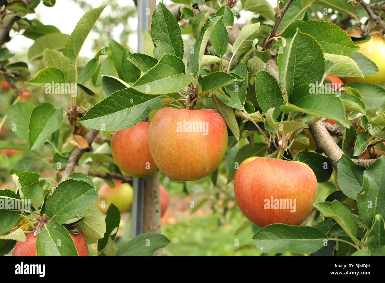 Ripe red apples growing on a tree in an orchard - Stock Image