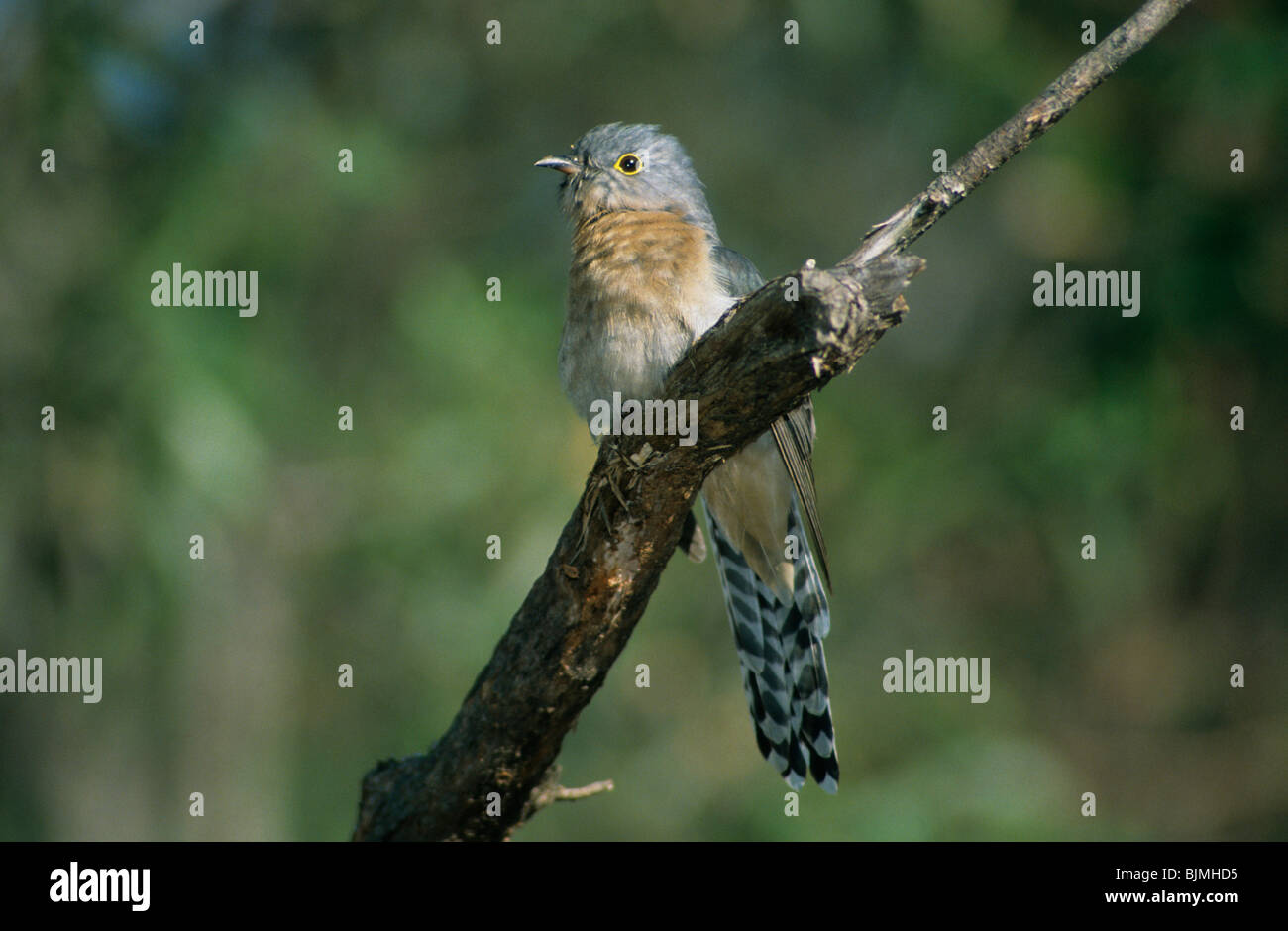 Fan-tailed cuckoo (Cacomantis flabelliformis), perched on branch, Australia - Stock Image