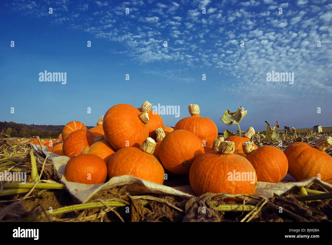 Harvested pumpkins in a pumpkin field with fluffy clouds - Stock Image