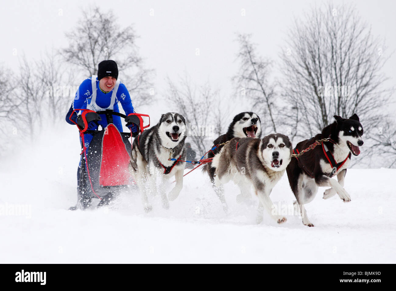Siberian Huskies, Winterberg Sled Dog Races 2010, Sauerland, North Rhine-Westphalia, Germany, Europe - Stock Image