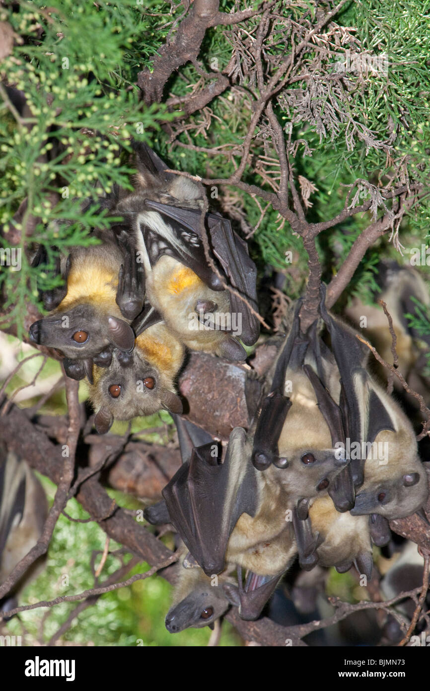A colony of the African straw-colored fruit bats (Eidolon helvum) in a tree. - Stock Image