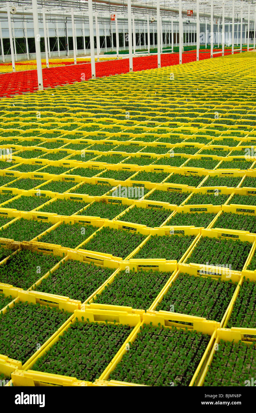 Seedlings in seed boxes in a greenhouse, nursery, Seeland region, Switzerland, Europe - Stock Image