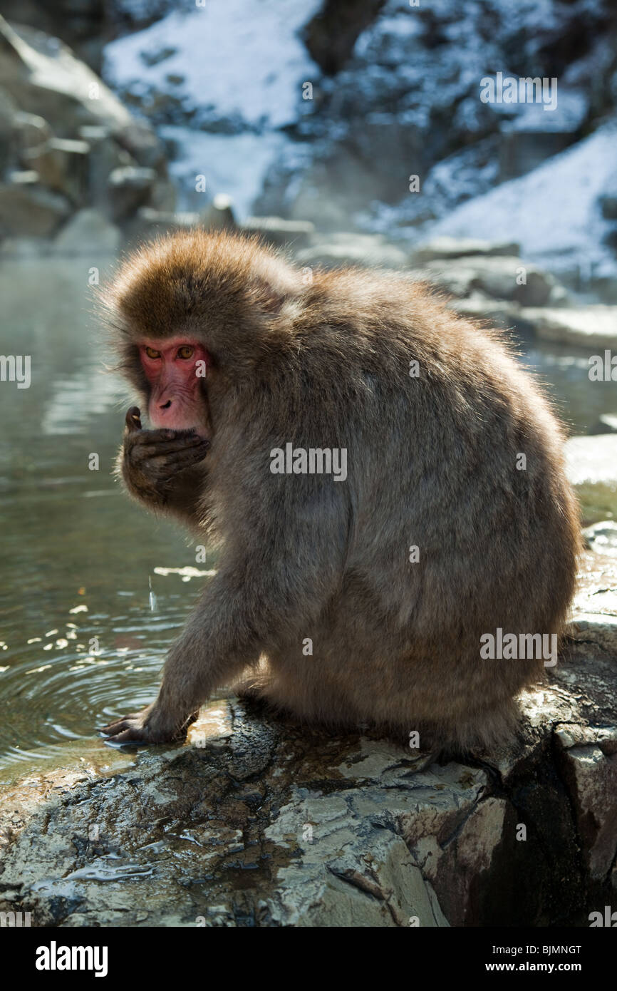 Jigokudani Monkey Park - Jigokudani is famous for its large population of wild Japanese Macaques - Stock Image