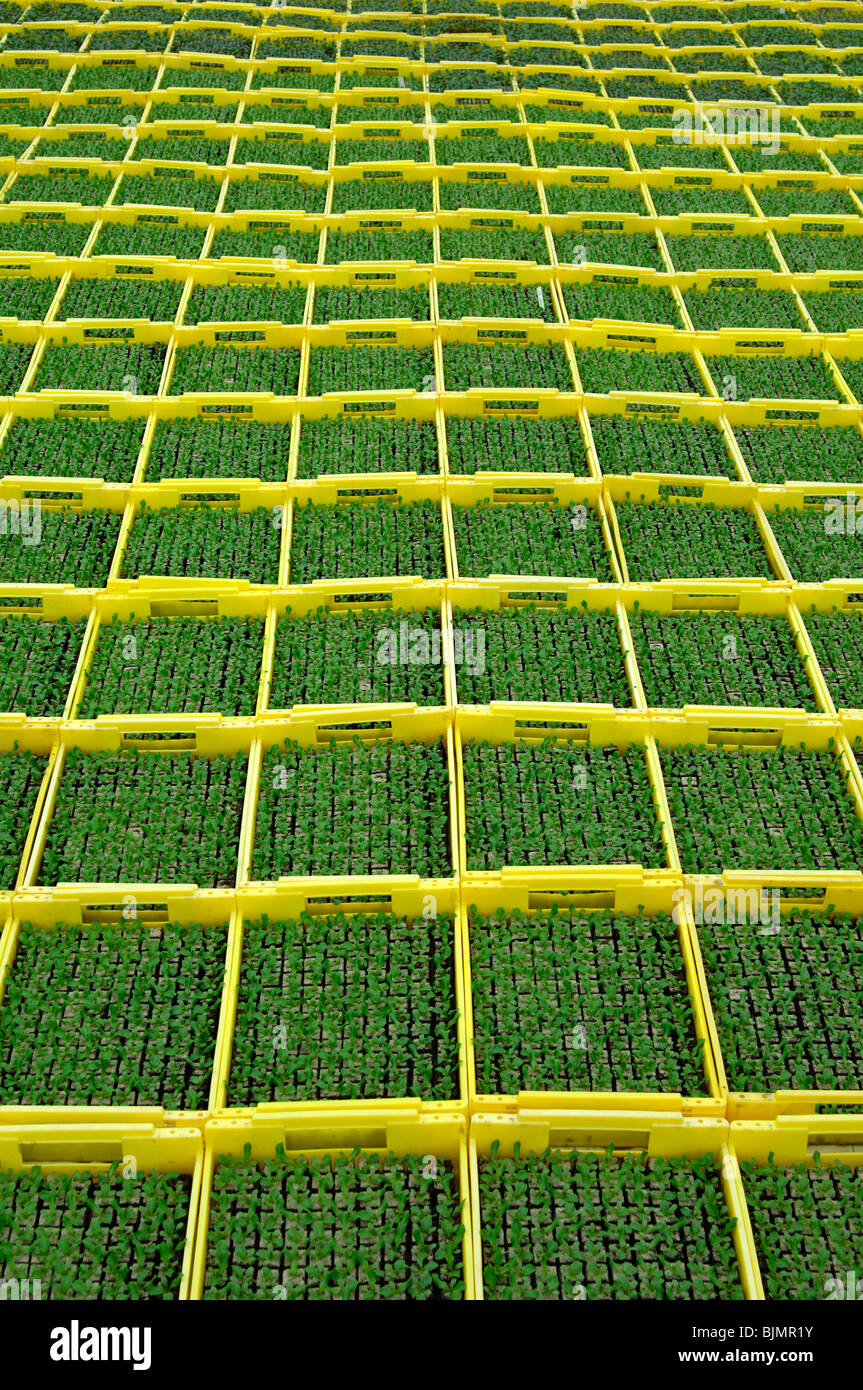 Seedlings in seed boxes in a greenhouse, nursery - Stock Image