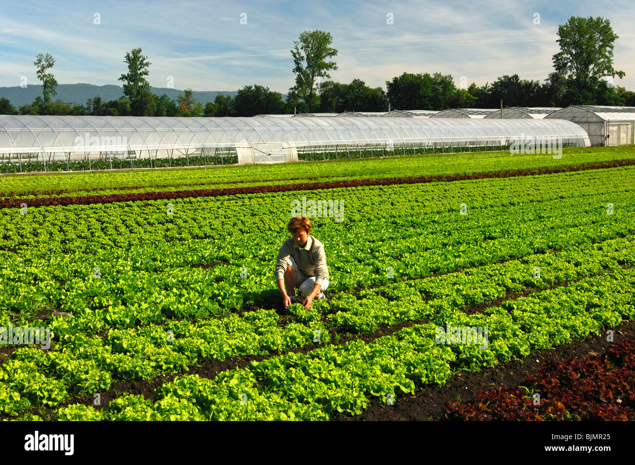Control work in a lettuce field in the vegetable growing area Grosses Moos, Seeland region, Switzerland, Europe - Stock Image