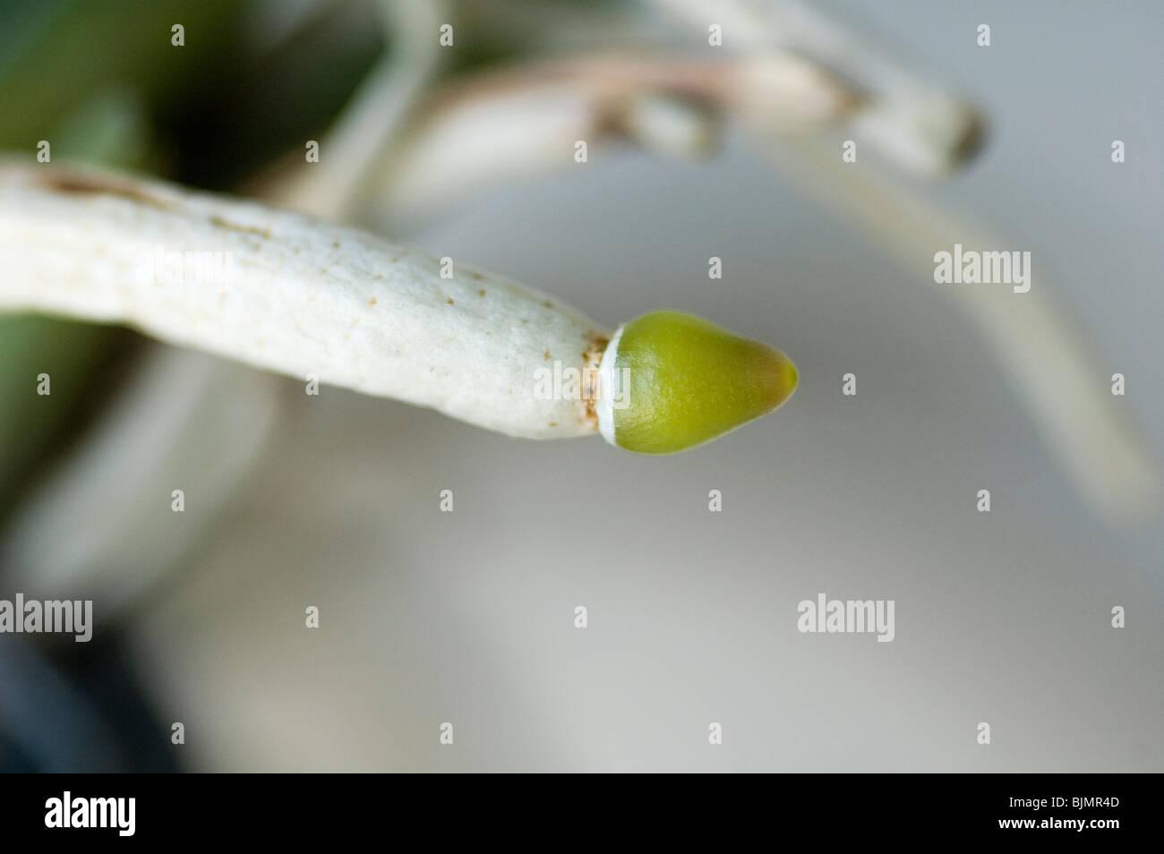 Root tip of Vasco Orchid - vanda x Ascocenda - showing new growth starting - Stock Image