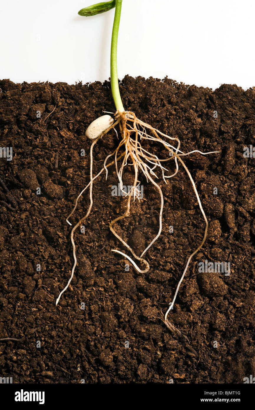 Phaseolus vulgaris french bean seedling showing legume seed and roots in compost and shoot against white background - Stock Image