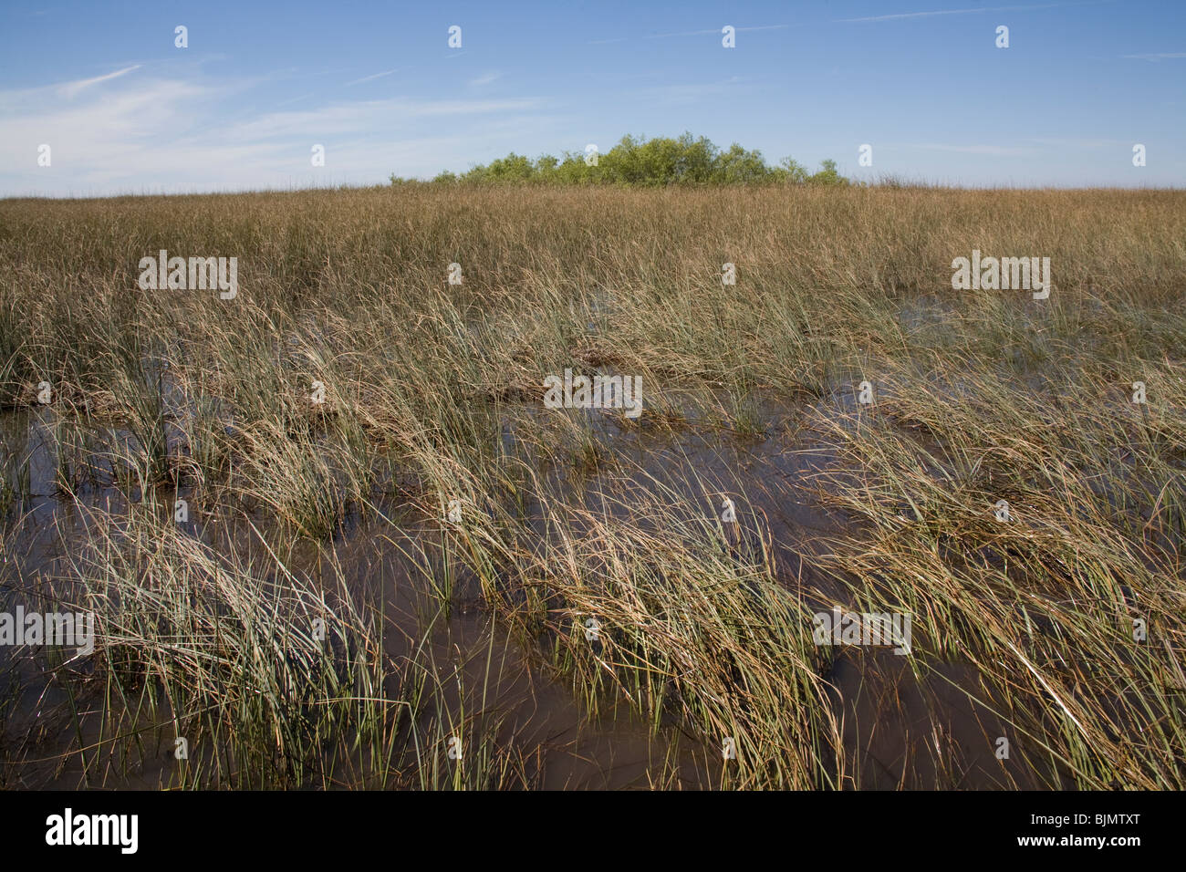 The River of Grass, Sawgrass, in the Everglades National Park, Miami Florida USA - Stock Image