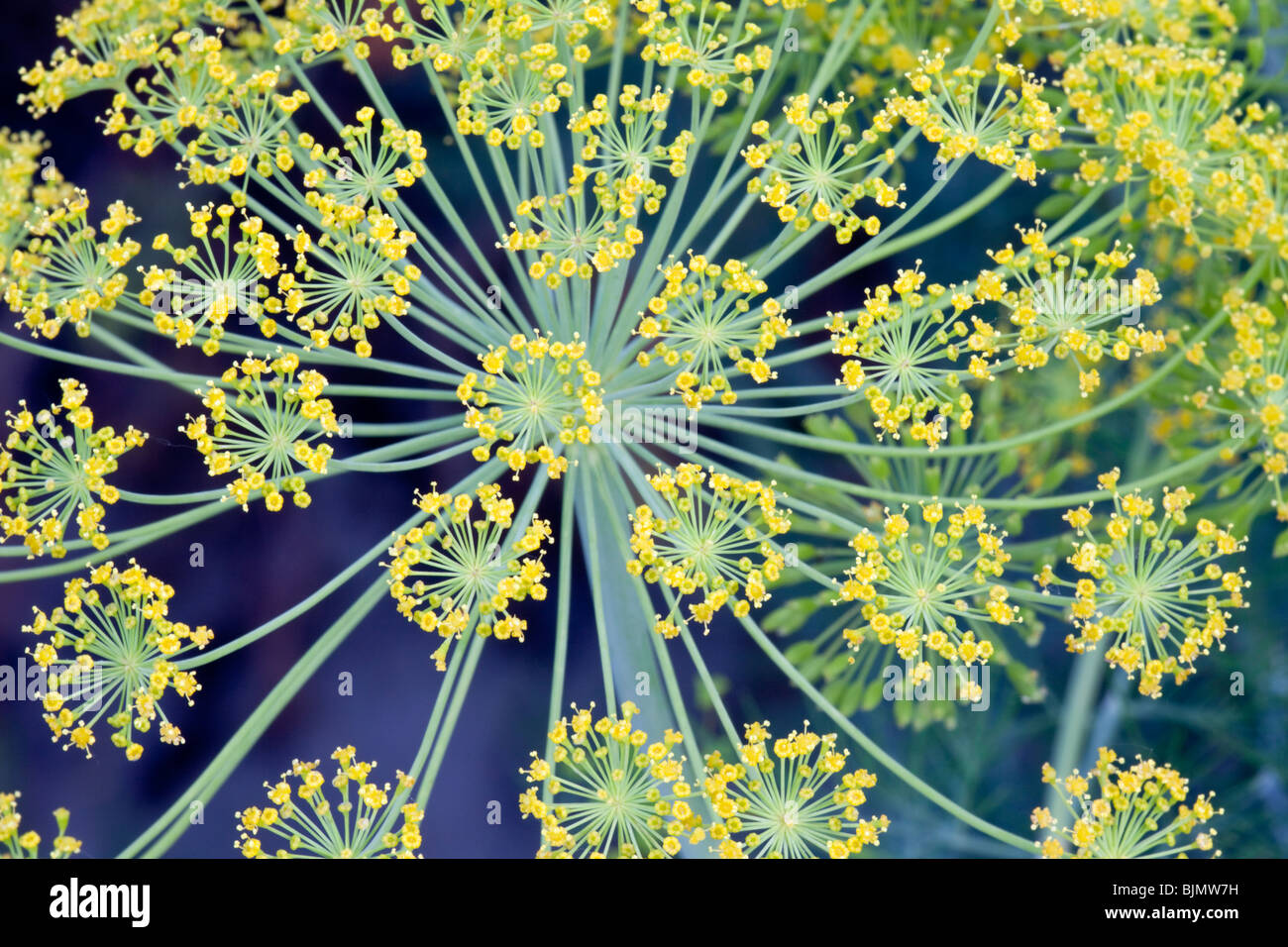 Dill 'Anethum graveolens' flowers. - Stock Image