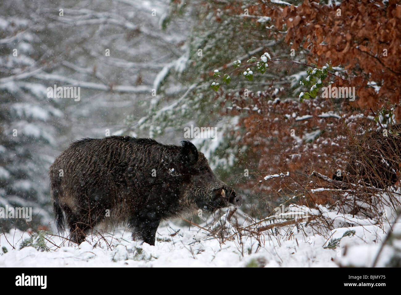 Wild boar in a winter forest Sus scrofa - Stock Image