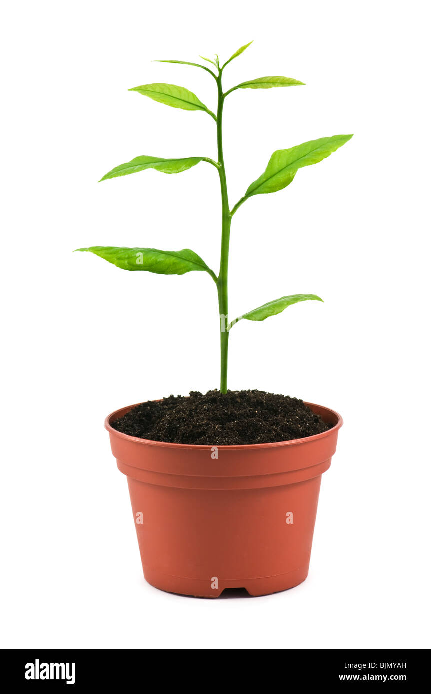 small tree in pot isolated on white - Stock Image