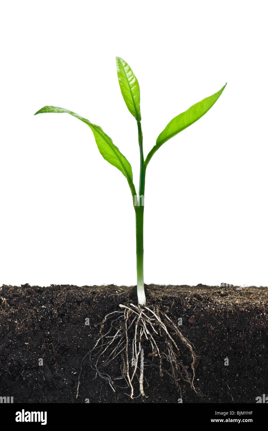 small tree with root in dirt - Stock Image