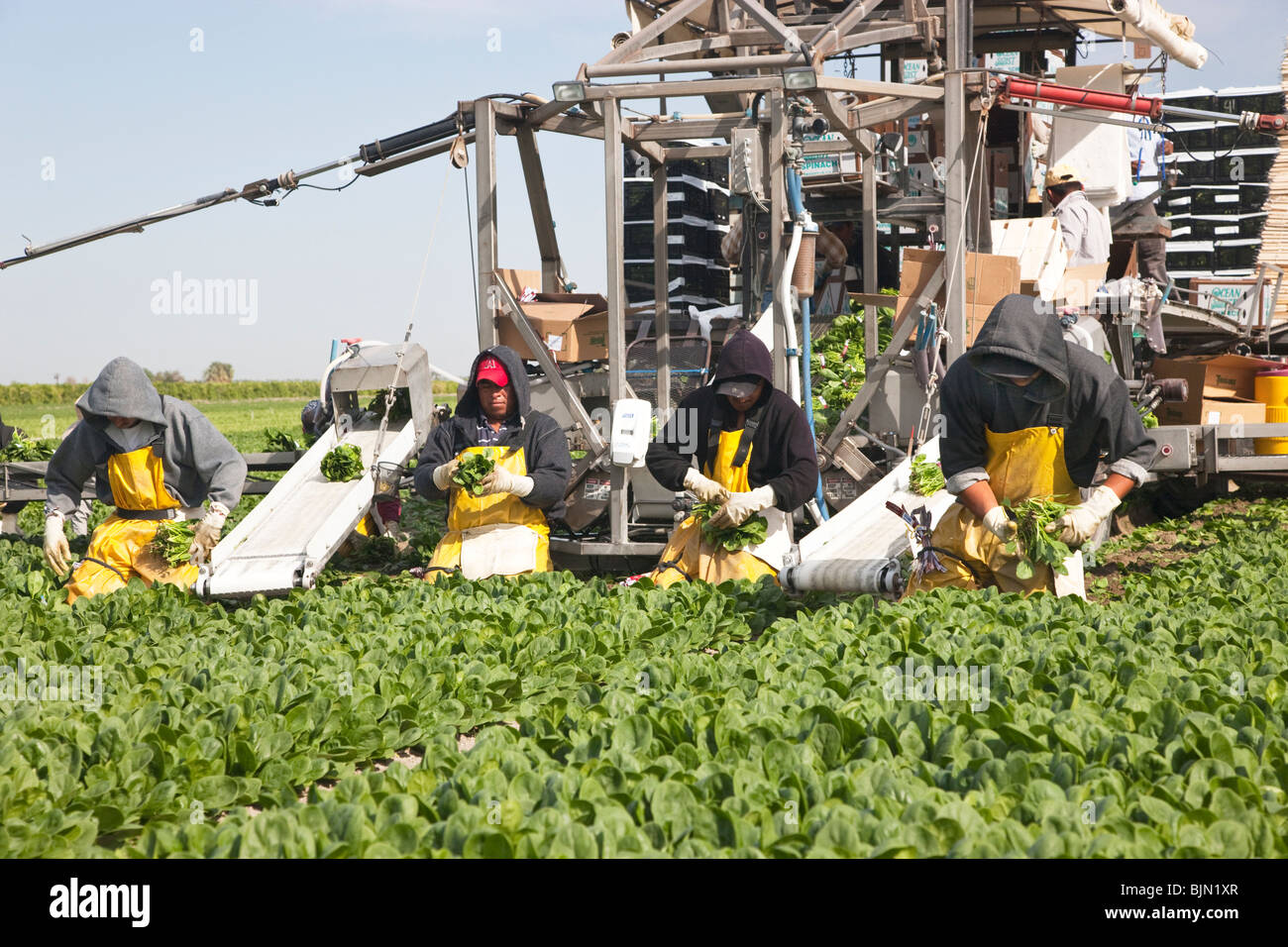 Spinach 'Spinacea oleracea' harvest. - Stock Image