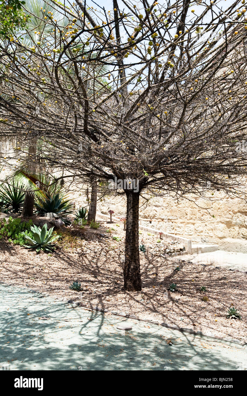 marriage tree bristling with thorns in botanical Garden on grounds of former Monastery of Santo Domingo Oaxaca Mexico - Stock Image