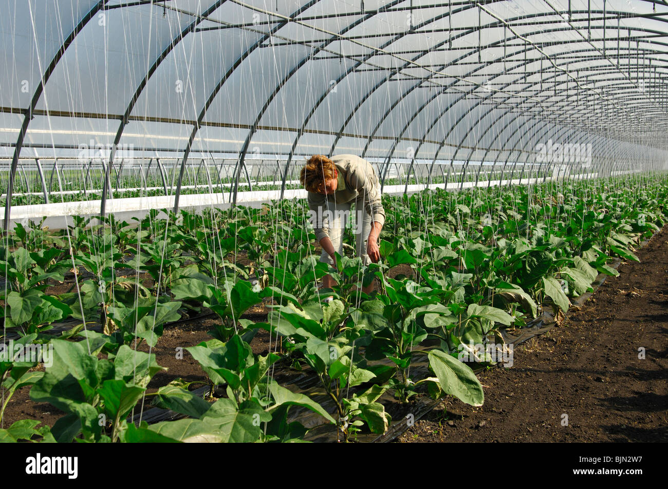 Female gardener at work in a greenhouse for egg plants, vegetable-growing area Grosses Moos, Seeland region, Switzerland - Stock Image