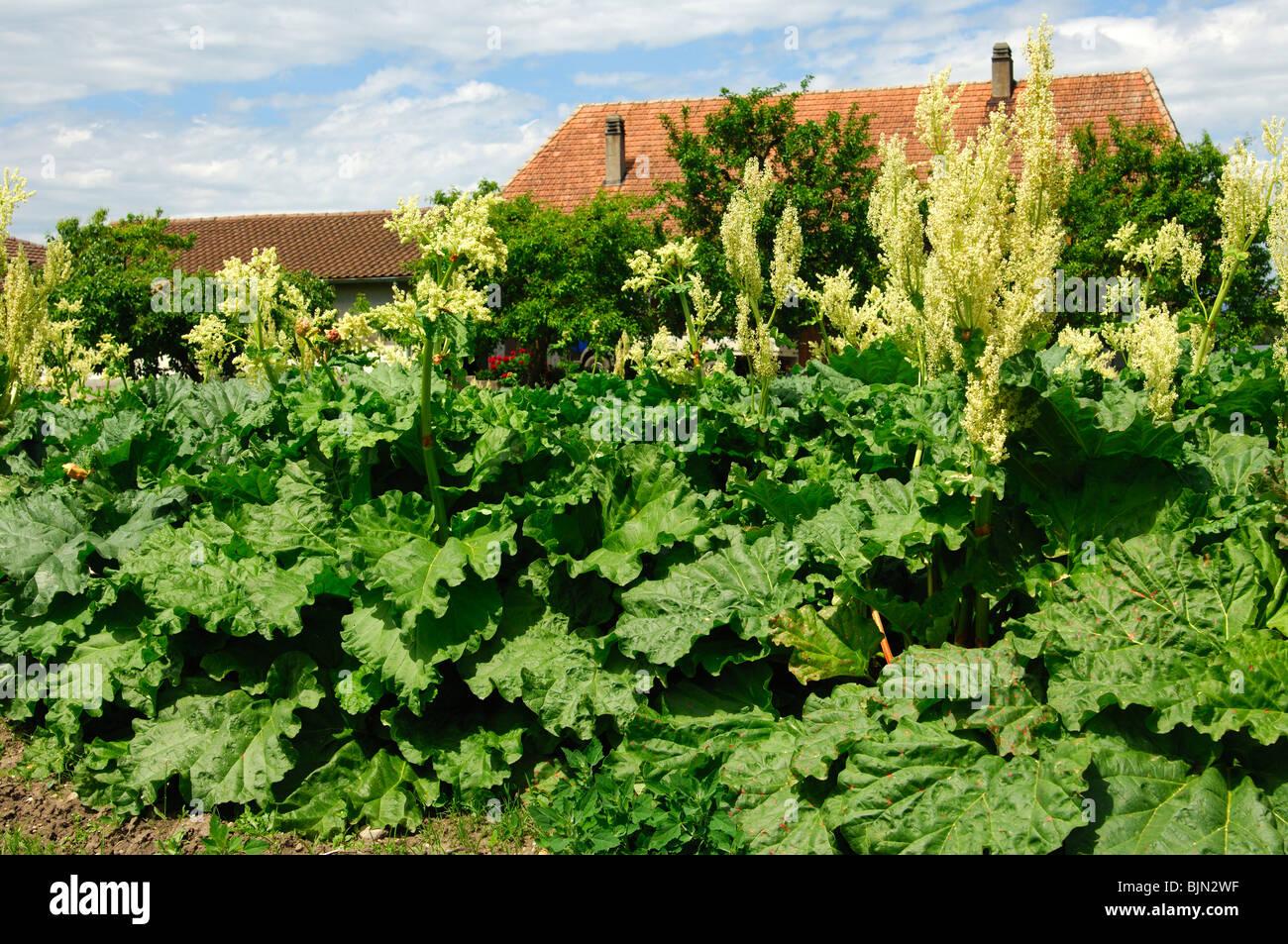 Flowering Rhubarb, Rheum rhabarbarum - Stock Image