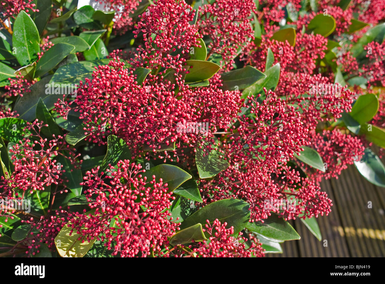 Skimmia japonica Rubella in March - Stock Image