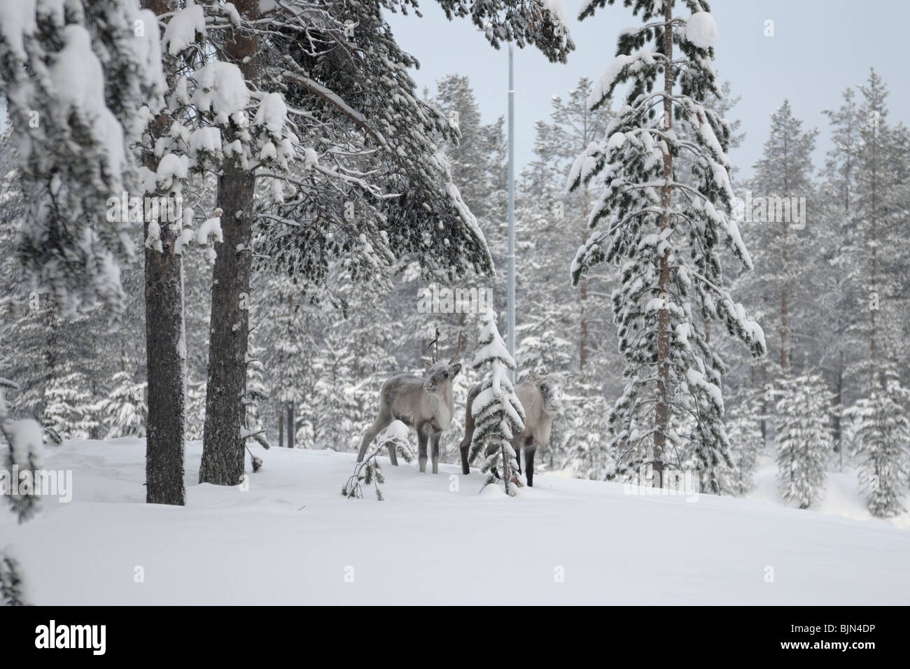 Two animals looking for food near Gallivare in Norrbotten in the northern part of Sweden. - Stock Image