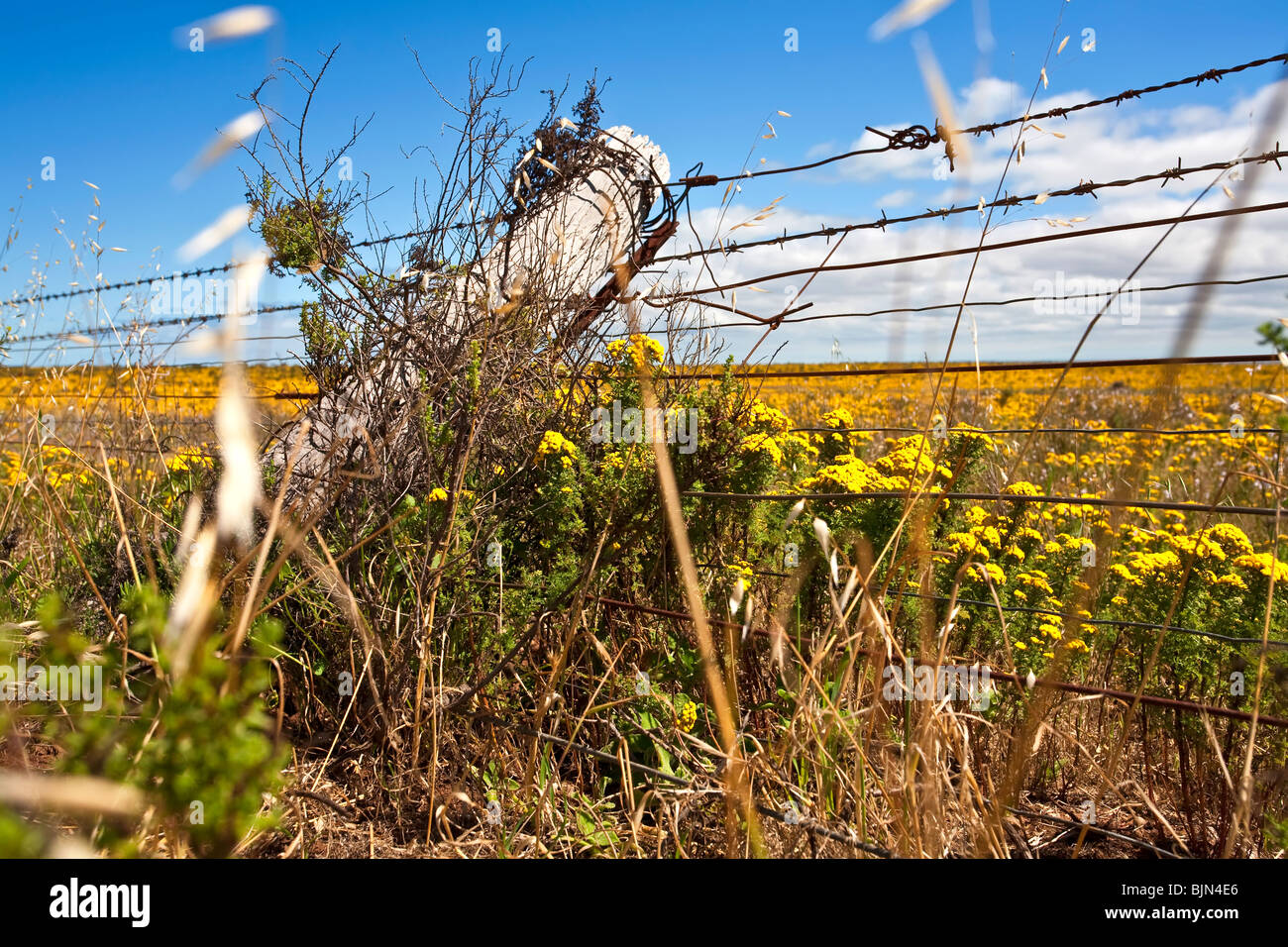 barbed Wire Fence Line and Wild Canola - Stock Image