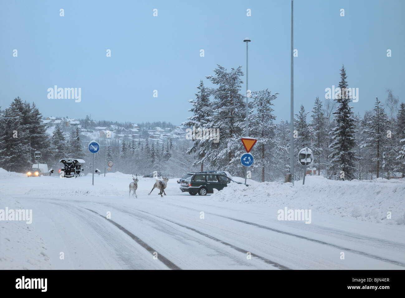 Two animals in the traffic near Gallivare in Norrbotten in the northern part of Sweden. - Stock Image