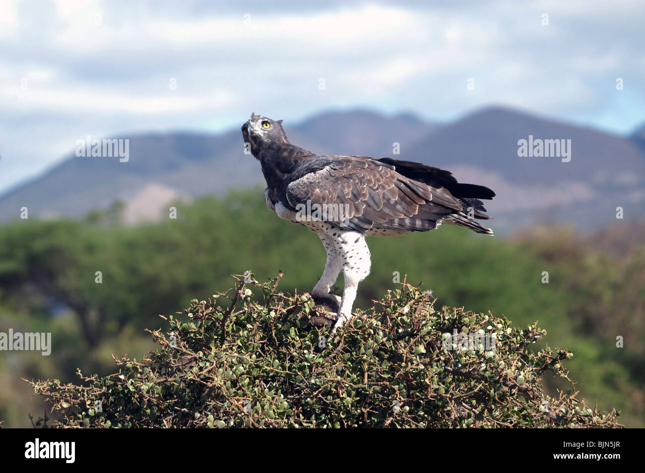 Africa's largest Eagle, The Martial Eagle with prey in the tree tops of Tsavo West National Park, Kenya, East - Stock Image