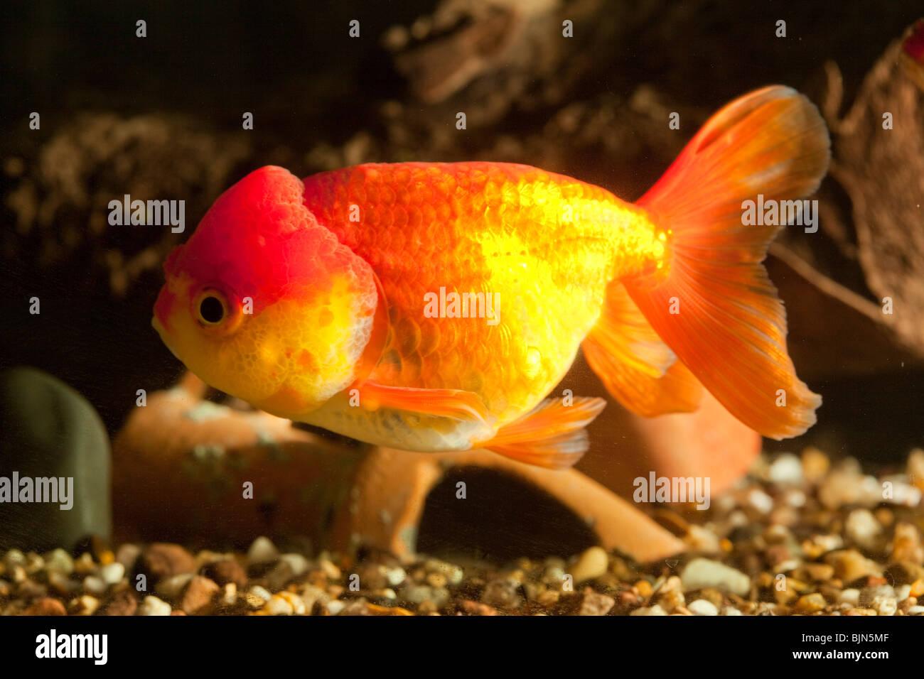 Lionhead Goldfish in Aquarium. Stock Photo