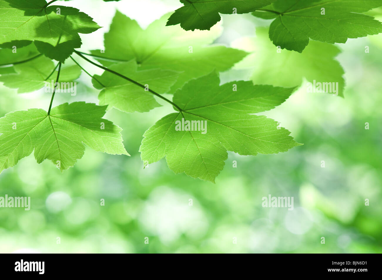 green maple leaves close up - Stock Image