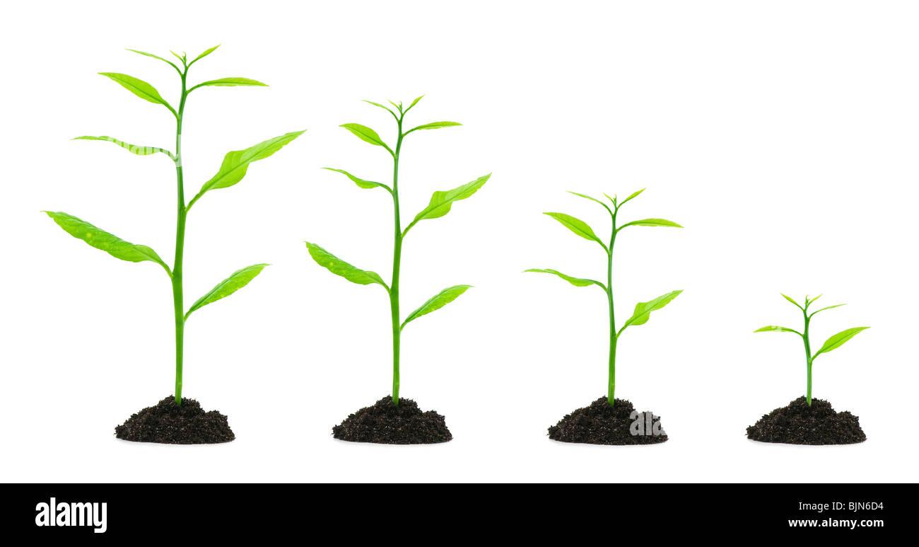small trees evolution - Stock Image