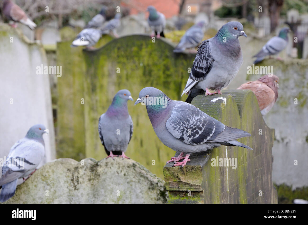 London pigeons in Bunhill Fields, City Road, London, England, UK. - Stock Image