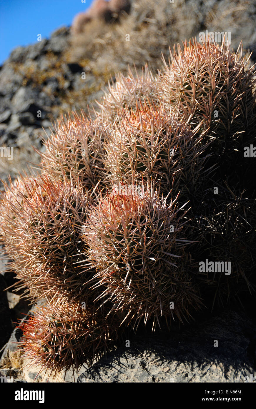 Close up of cactus growing in Death Valley, California state - Stock Image