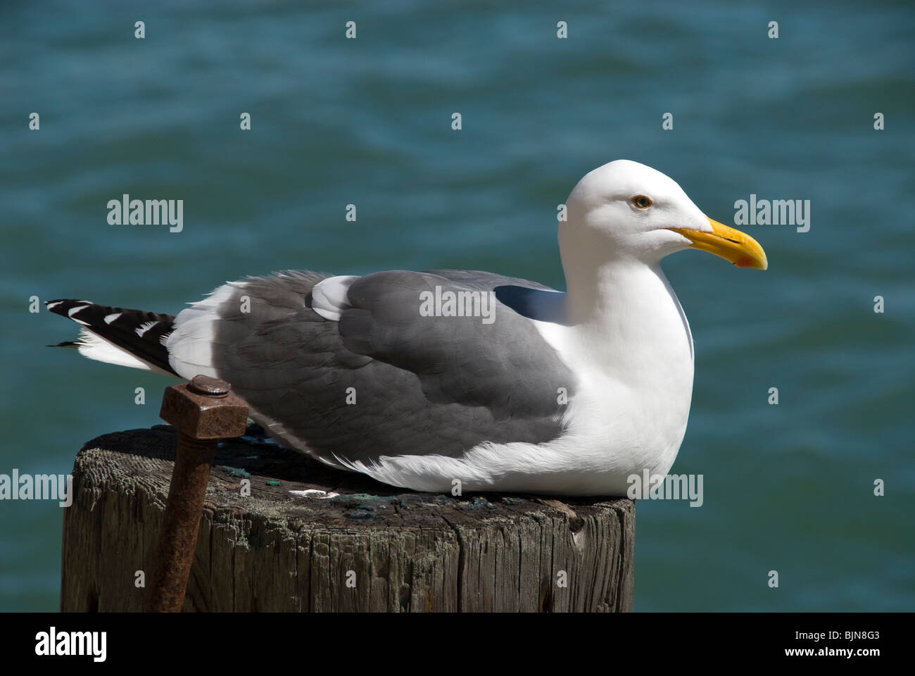 Western Gull, San Francisco Bay, California - Stock Image