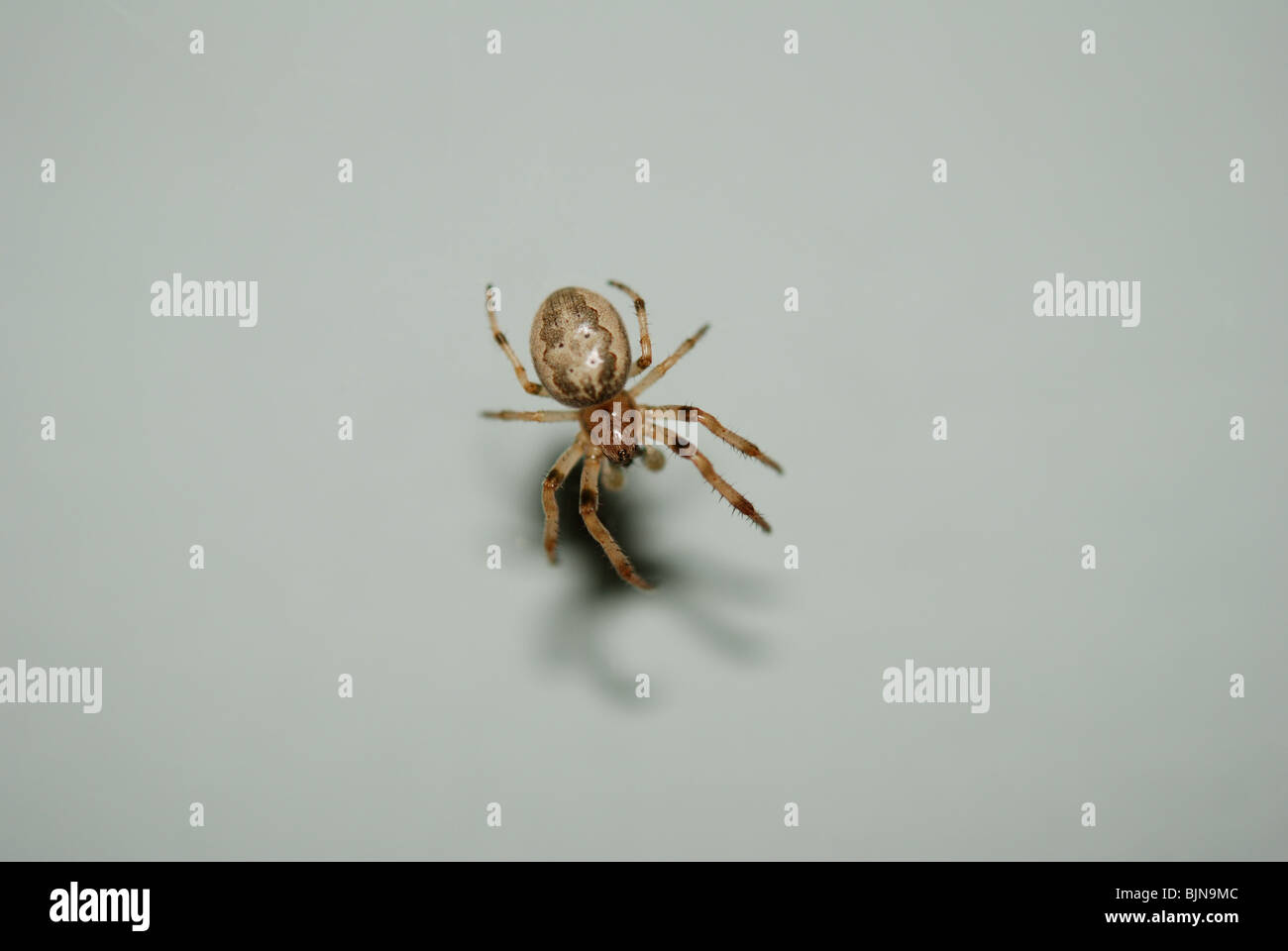 Metellina (meta) segmentata spider against a white background. - Stock Image