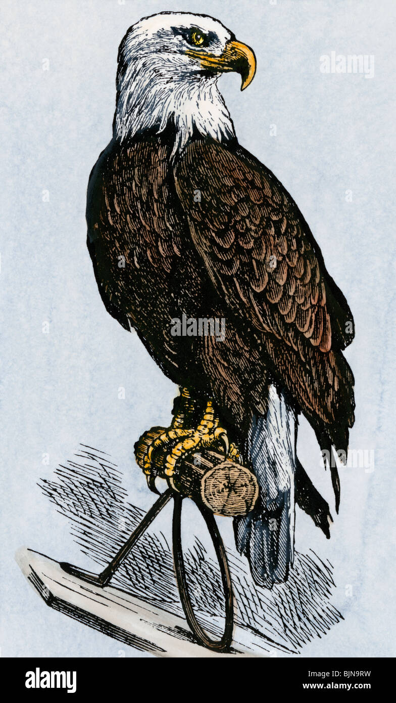 'Old Abe,' the bald eagle mascot of Wisconsin's Iron Brigade, US Civil War. Hand-colored woodcut - Stock Image