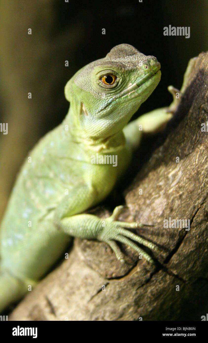 Plumed or Green Basilisk, Basiliscus plumifrons, Corytophanidae, Central America. - Stock Image