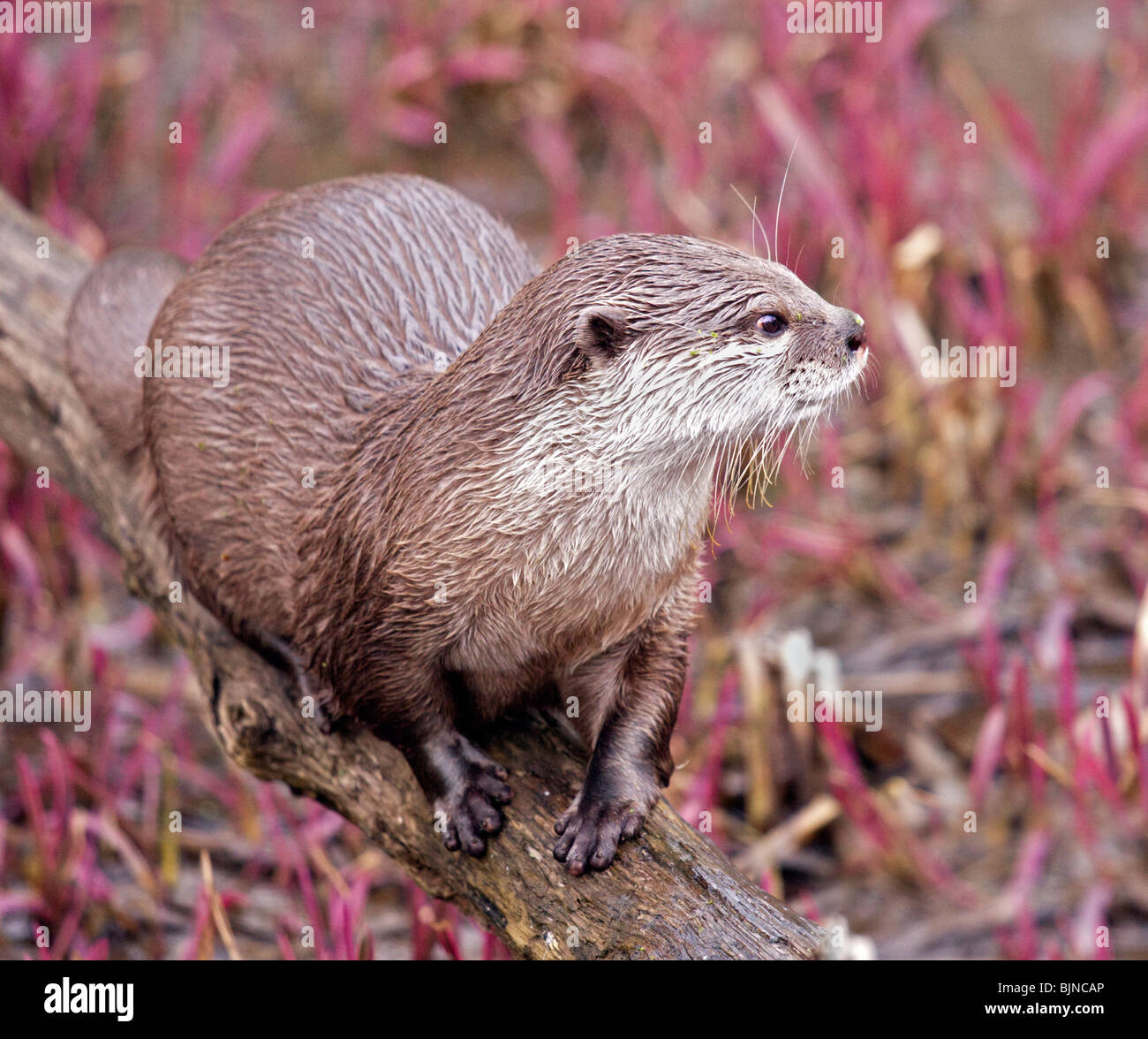 Asian Small Clawed Otter (aonyx cinerea) - Stock Image
