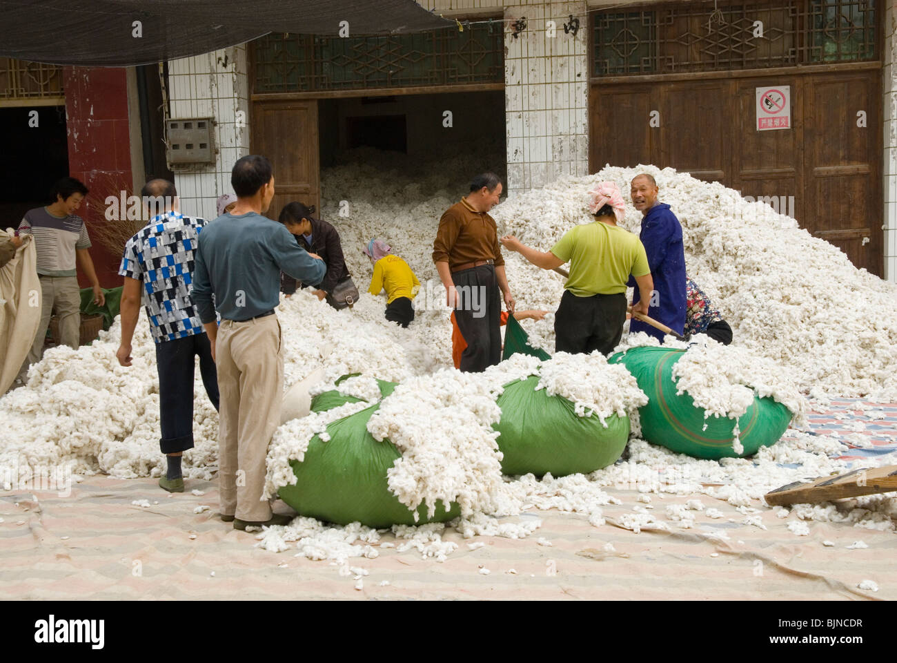 Workers gathering cotton bolls in Hubei province. China. - Stock Image