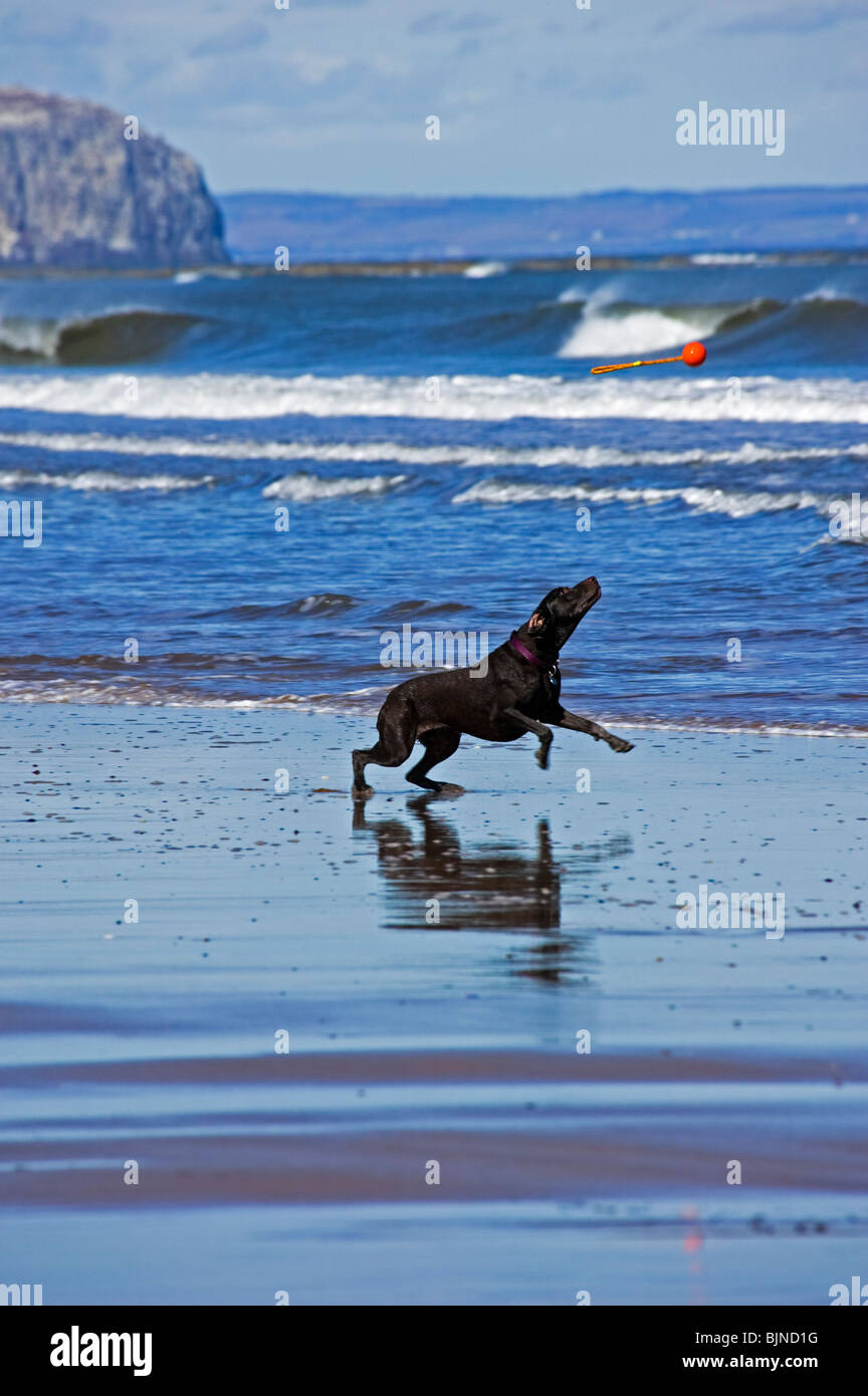 Black dog beginning a leap to catch red excercise toy on a sunny day, Belhaven Bay beach, East Lothian, Scotland, - Stock Image