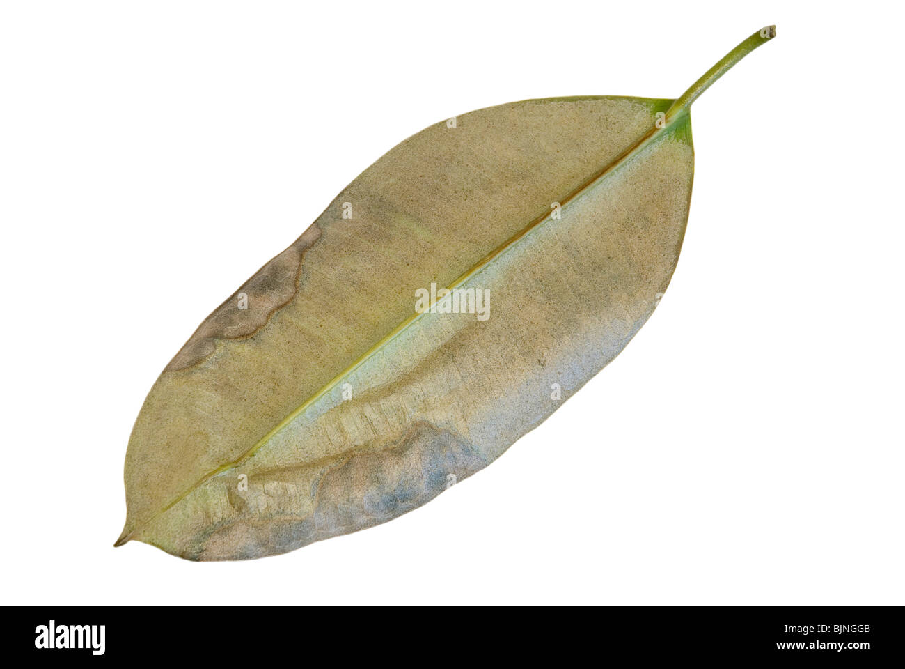 Closeup of ficus elastica leaf affected by red spider (Panonychus ulmi, Tetranychus telarius) - Stock Image