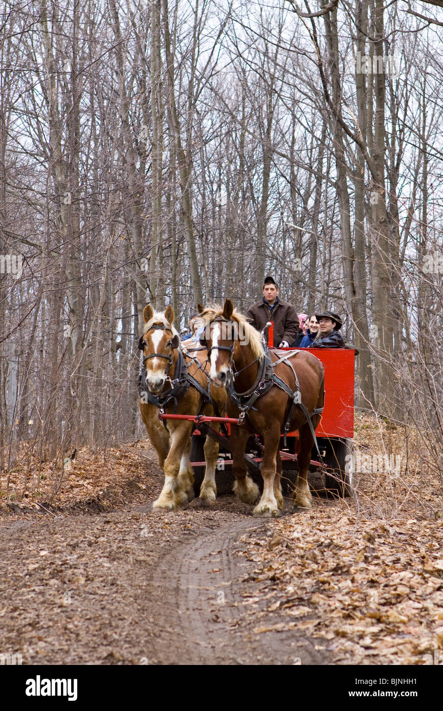 A huge carriage full of tourists pulled by 2 big sorrel horses on a path into a maple forest. - Stock Image